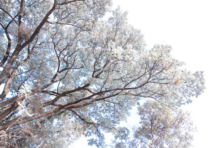 infra red: White tree Stock Photo