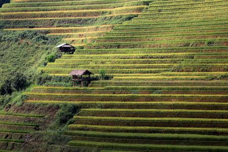 rice terrace: Rice terrace