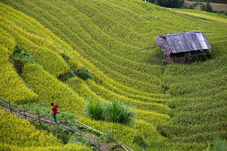 Rice Farm in Vietnam