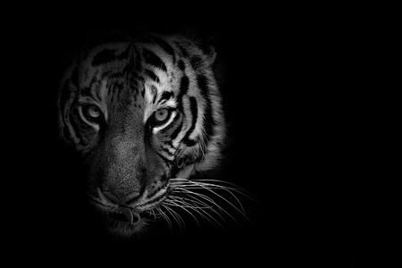 Black and white wildlife animal with low key background Banco de Imagens