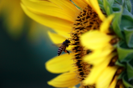 miel ruche: Honey Bee with sunflower