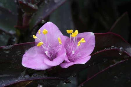 Purple Setcreasea Boom 版權商用圖片
