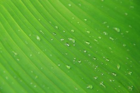 Dew Drops On Banana Leaf photo