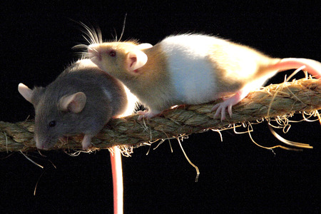 Two rats climbing on rope photo