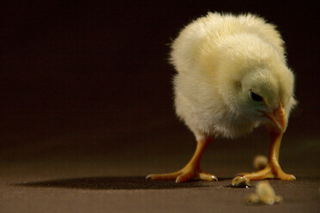 Baby chick eating the grain photo