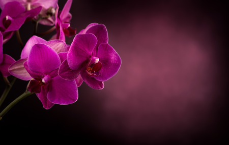Magenta blossom phalaenopsis flower in dark blurred background Stock Photo