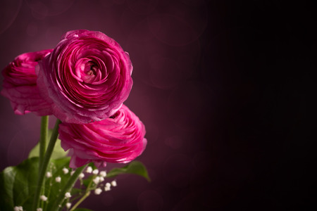 persian buttercup: Three pink persian buttercup flowers against dark background Stock Photo