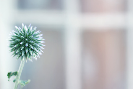 toned: Echinops flower against blurred window background, toned