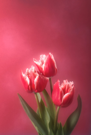 terry: Three terry red tulips against pink blurred background with copy space.Soft focus