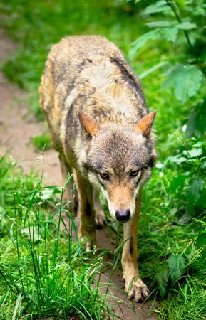 Wolf running in forest