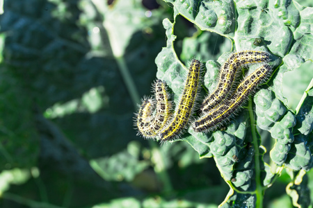 Caterpillars attacks kale