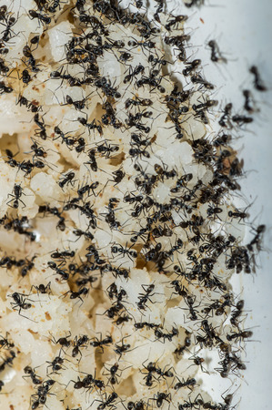 pismire: Ants eat