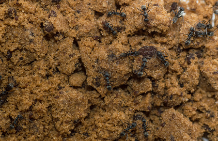 mouthful: Ants eat sugar