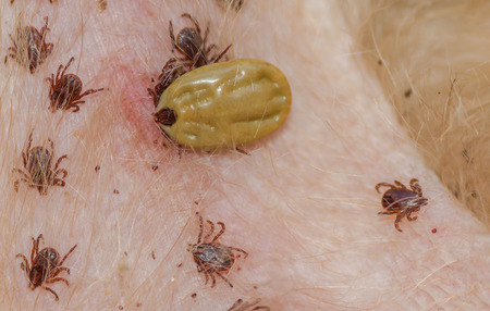 Dog tick - bloodsucking insect