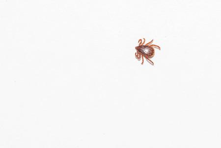 dog tick: Dog tick  bloodsucking insect Stock Photo