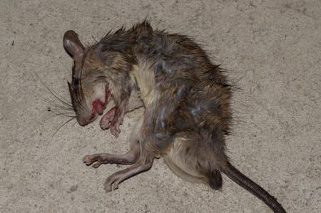 dead rat: dead Rat Stock Photo
