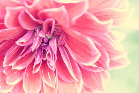 dahlia: Cerca de la flor roja macro