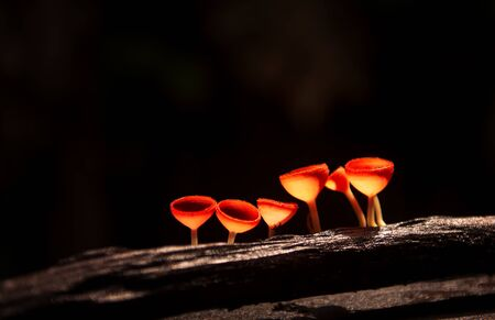 Macro photography of Cookeina mushroom or Red Champagne mushroom in rainforest.
