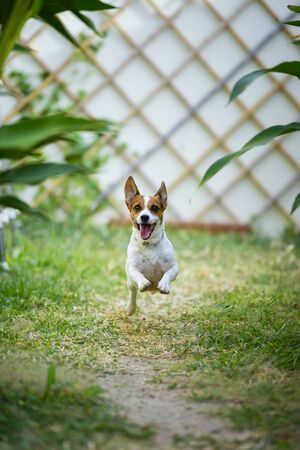 Jack Russell Terrier dog running and jumping in the backyard.