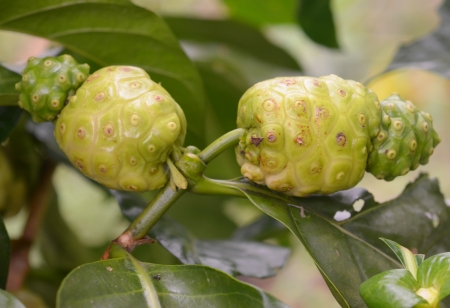 Noni fruit juice and drink can be made for health