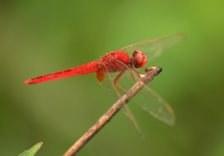 A red dragonfly at rest Sympetrum vulgatum Stock Photo - 14585270
