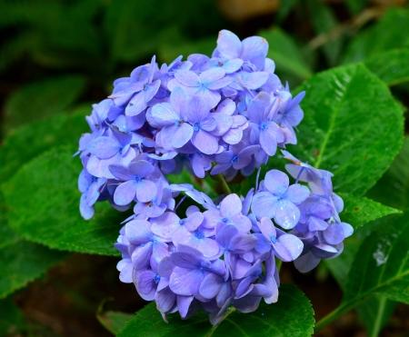 hortensias azules y flores blancas
