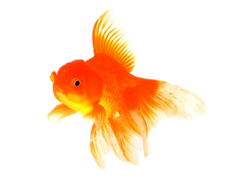 Goldfish Stock Photo - 18651545