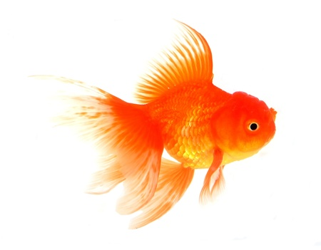 Goldfish Stock Photo - 18651544