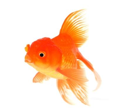 fan shaped: Goldfish