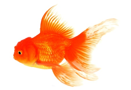 Goldfish Stock Photo - 18651530