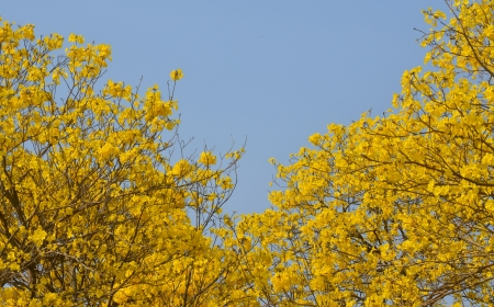 Indian yellow flowers