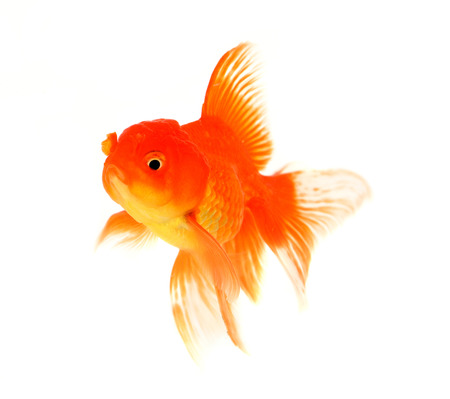 caudal fin: Fish goldfish on a white background
