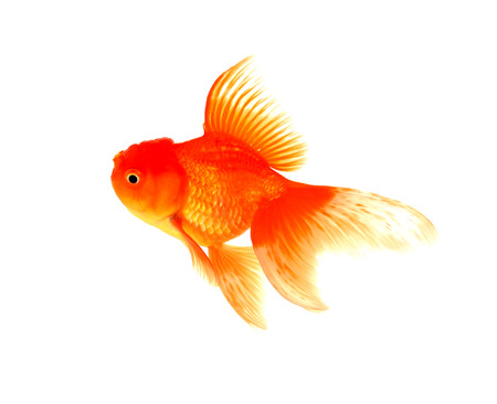 caudal: Goldfish on a white background Stock Photo