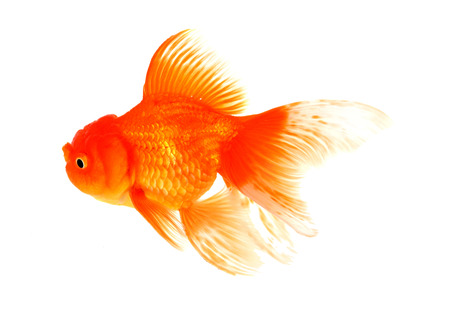 Goldfish fish white background photo