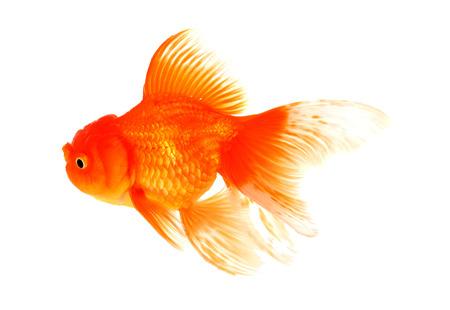 caudal: Goldfish fish white background Stock Photo