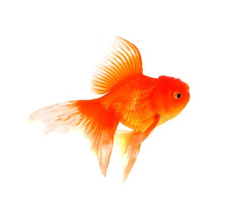caudal fin: Goldfish on a white background Stock Photo