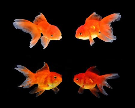 Gold fish black background