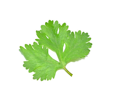 coriander: Coriander leaves with white background Stock Photo
