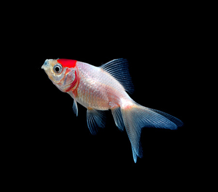 gold fish isolated on black Stock Photo