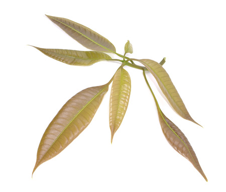 Isolated bunch of green mango leaves photo