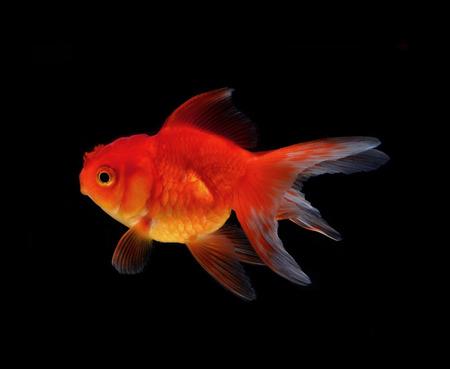 Gold fish black background Stock Photo