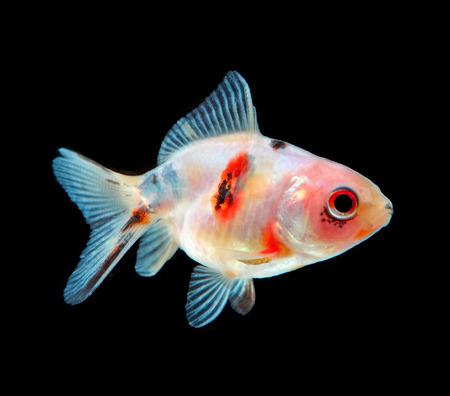 fish isolated: gold fish isolated on black Stock Photo