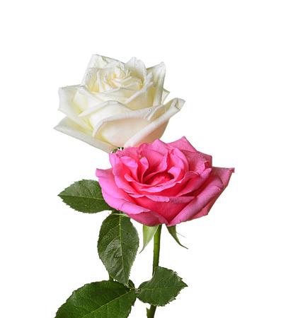 rose pink ,rose white  isolated on white background
