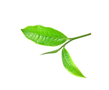 Hoja de t� verde aislado en el fondo blanco Foto de archivo