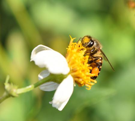 bee on flower: Bee on flower background blur Stock Photo