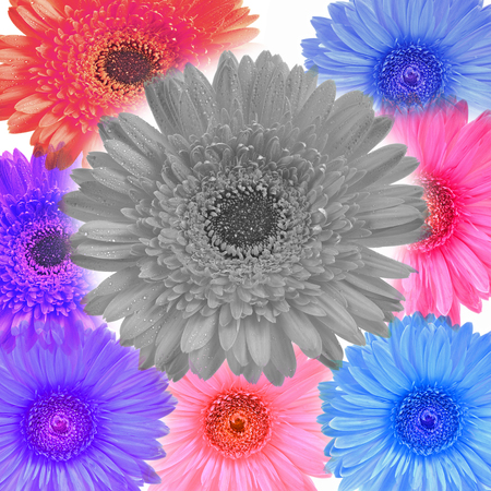 Gerbera flower colorfull isolated on white background