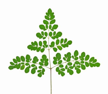 moringa: Moringa leaves on white background