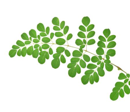 oleifera: Moringa leaves on white background
