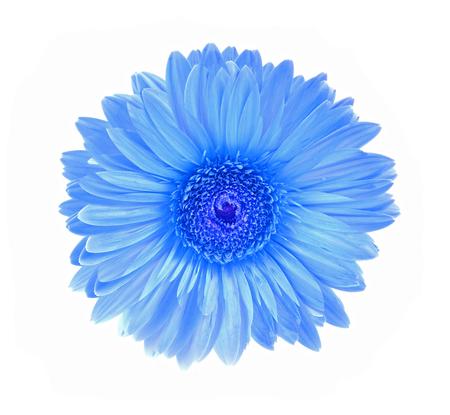 Gerbera flower isolated white background