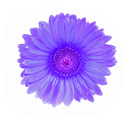 one object: Gerbera flower isolated white background